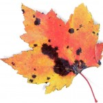 maple-leaf-with-air-pollution-damage